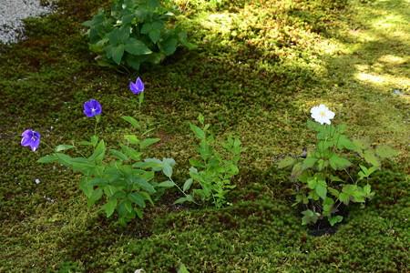 桔梗と秋明菊