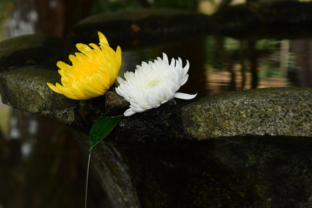 菊が飾られた手水