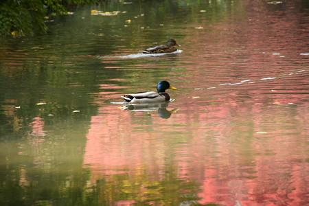 色づき始めた池面を泳ぐ