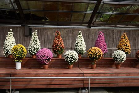 植物展示場の菊