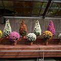 Photos: 植物展示場の菊