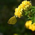 菊渓菊に止まる黄蝶(キチョウ)