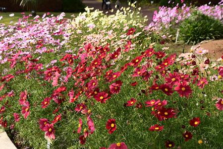 植物園会館前の秋桜(コスモス)