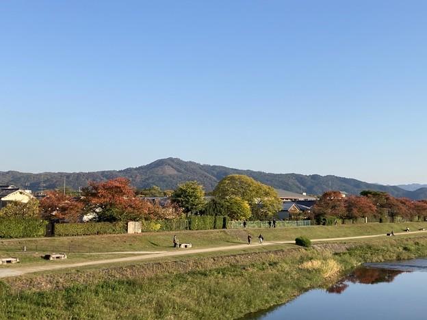 賀茂川の桜もみじ