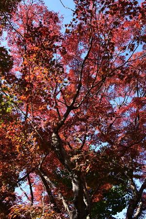 禅華院の紅葉