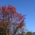 Photos: 桜もみじと比叡山