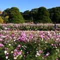 Photos: 薔薇園奥の秋桜