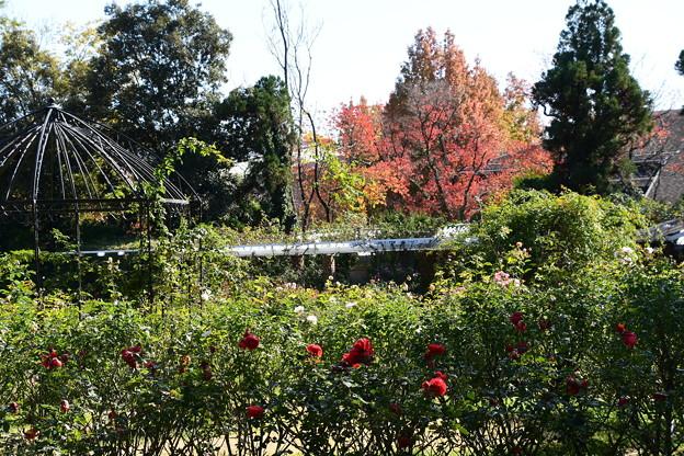 薔薇と紅葉