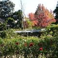 Photos: 薔薇と紅葉