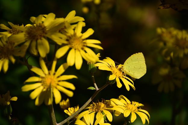石蕗に止まる黄蝶(キチョウ)