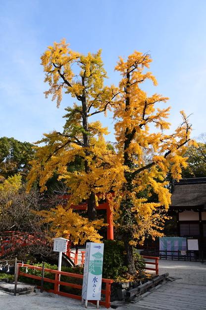 公孫樹の黄葉