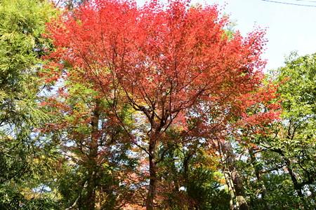 泉川邸の紅葉