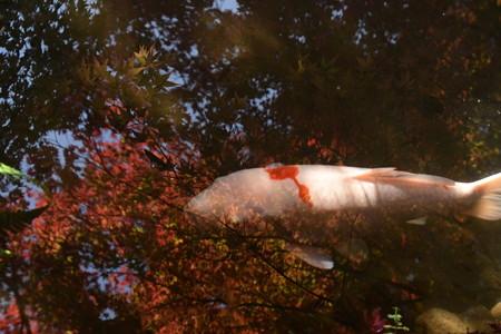 紅葉の中の鯉