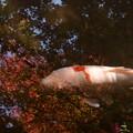 Photos: 紅葉の中の鯉