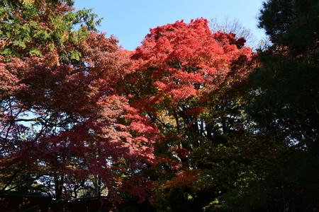裏庭の紅葉