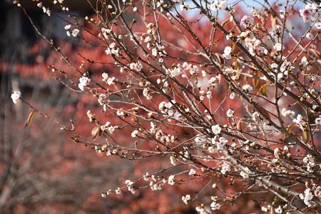 紅葉の前に咲く子福桜(コブクザクラ)