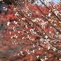 Photos: 紅葉の前に咲く子福桜(コブクザクラ)