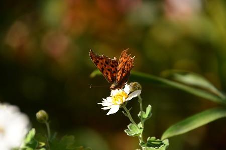 野路菊に止まるキタテハ