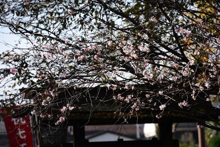 西鳥居脇の十月桜(ジュウガツザクラ)