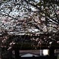 Photos: 西鳥居脇の十月桜(ジュウガツザクラ)