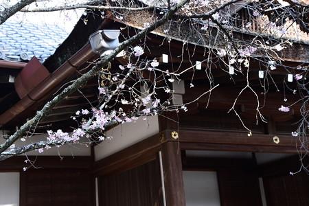 社務所前の十月桜(ジュウガツザクラ)