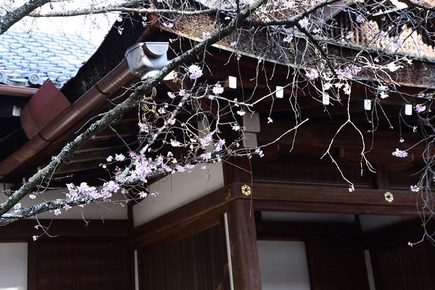 Photos: 社務所前の十月桜(ジュウガツザクラ)