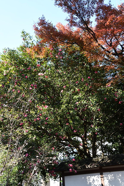 Photos: 紅葉と山茶花