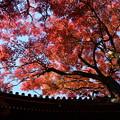 空を蔽う紅葉