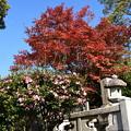 Photos: 紅葉と山茶花(サザンカ)
