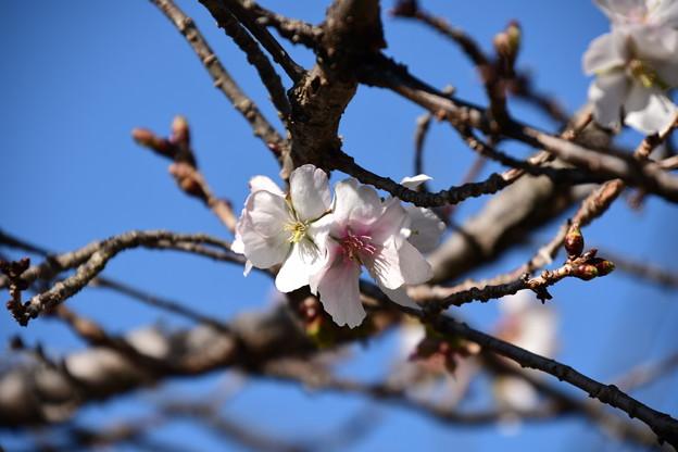 Photos: 冬桜(フユザクラ)