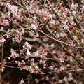 満開の十月桜(ジュウガツザクラ)