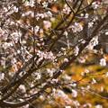 黄葉を背景に咲く十月桜(ジュウガツザクラ)