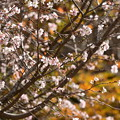 Photos: 黄葉を背景に咲く十月桜(ジュウガツザクラ)