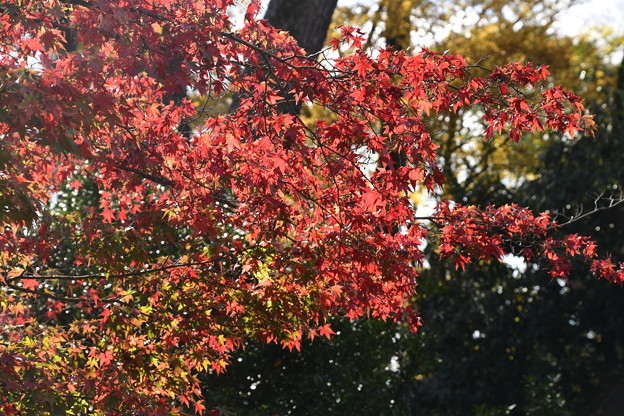 燦めく紅葉
