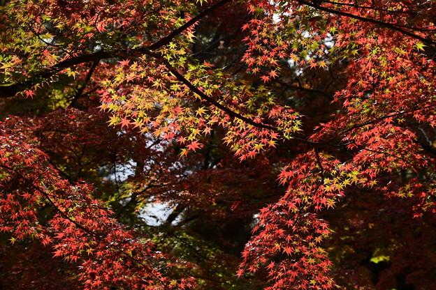 渦巻く紅葉