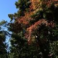 Photos: 参道脇の色付き