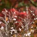 紅葉の前に咲く十月桜(ジュウガツザクラ)