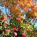 紅葉の前に咲く山茶花(サザンカ)