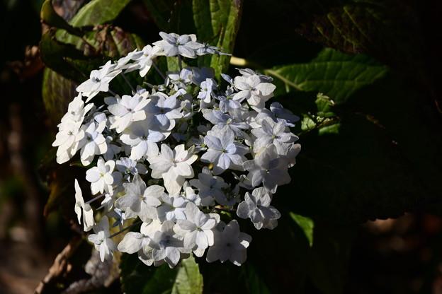 まだ咲いている紫陽花(アジサイ)
