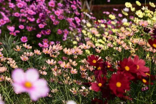 Photos: 植物園会館前の秋桜(コスモス)