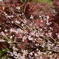 Photos: 紅葉の前の四季桜(シキザクラ)