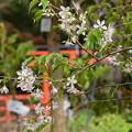 Photos: ヒマラヤ桜(ヒマラヤザクラ)