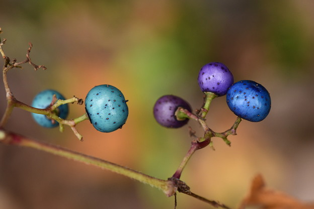 切れ葉野葡萄(キレハノブドウ)