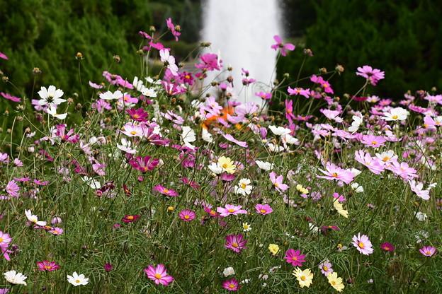 噴水と秋桜(コスモス)