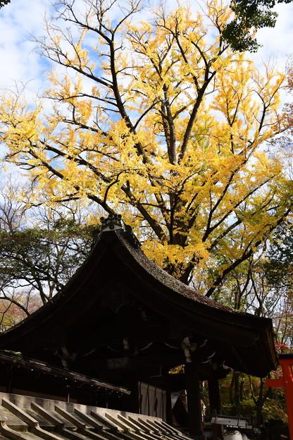 河合神社の公孫樹(イチョウ)