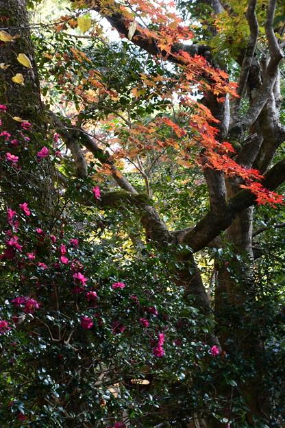紅葉と山茶花(サザンカ)
