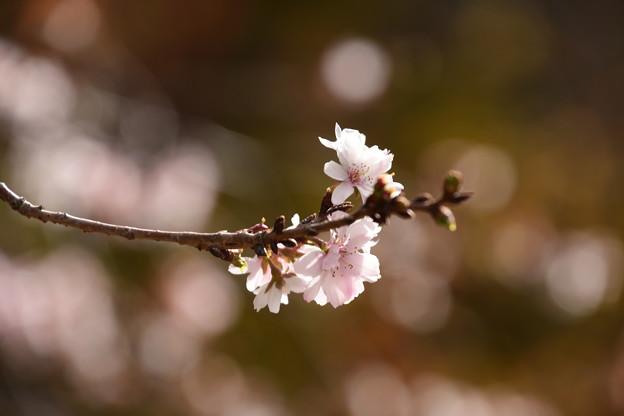 12月の十月桜(ジュウガツザクラ)