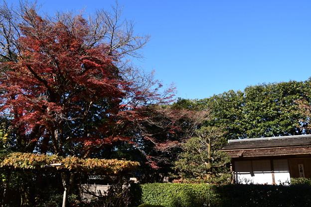 残月軒脇の紅葉