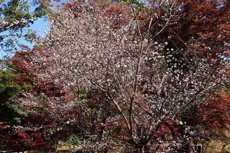 紅葉と四季桜(シキザクラ)