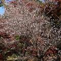 Photos: 紅葉と四季桜(シキザクラ)